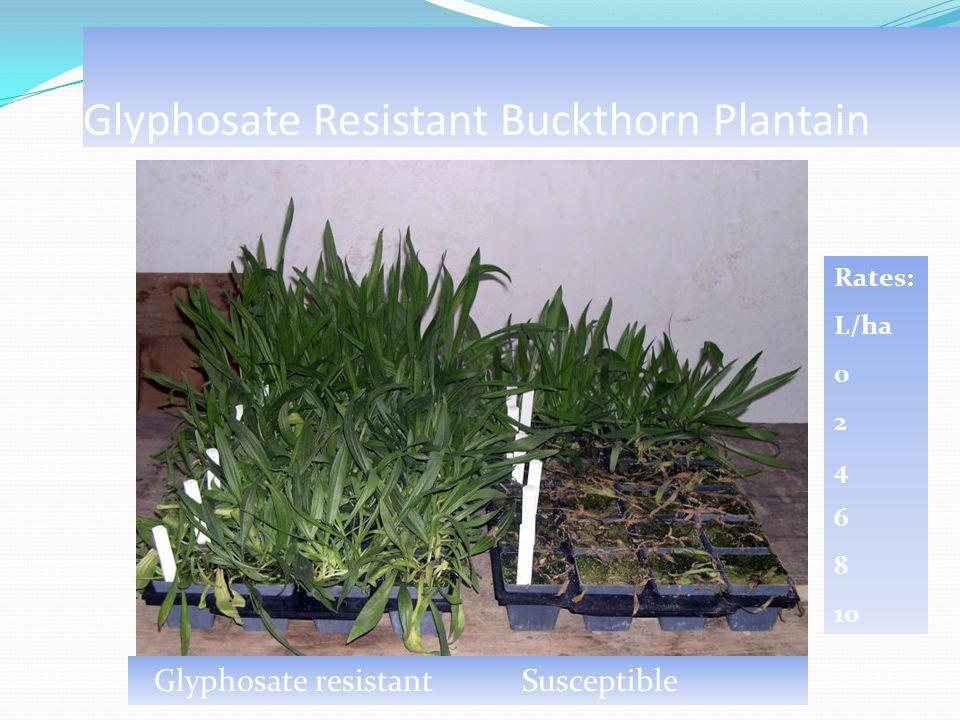 Glyphosate Resistant Buckthorn Plantain Rates: L/ha 0 2 4 6 8 10 Glyphosate resistant Susceptible