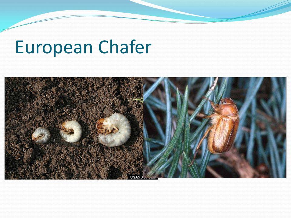 European Chafer