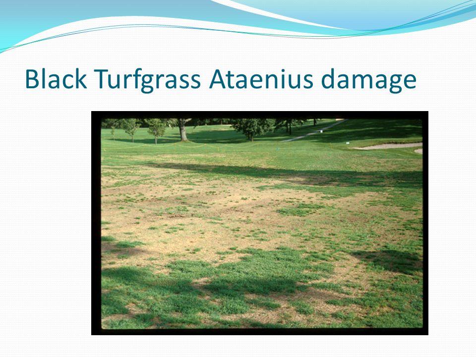 Black Turfgrass Ataenius damage