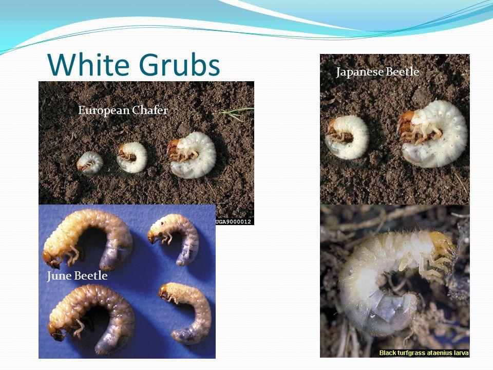 White Grubs European Chafer Japanese Beetle June Beetle
