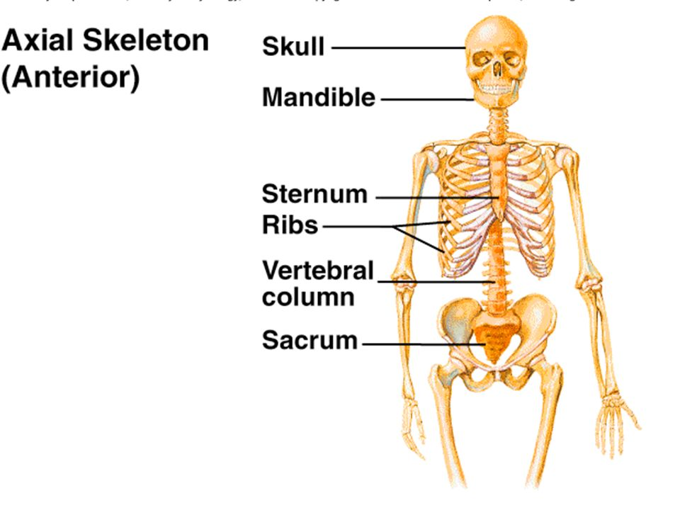 1 Axial (the center or axis) Appendicular (legs and arms) Skeletal Organization Skeleton is divided into two divisions!