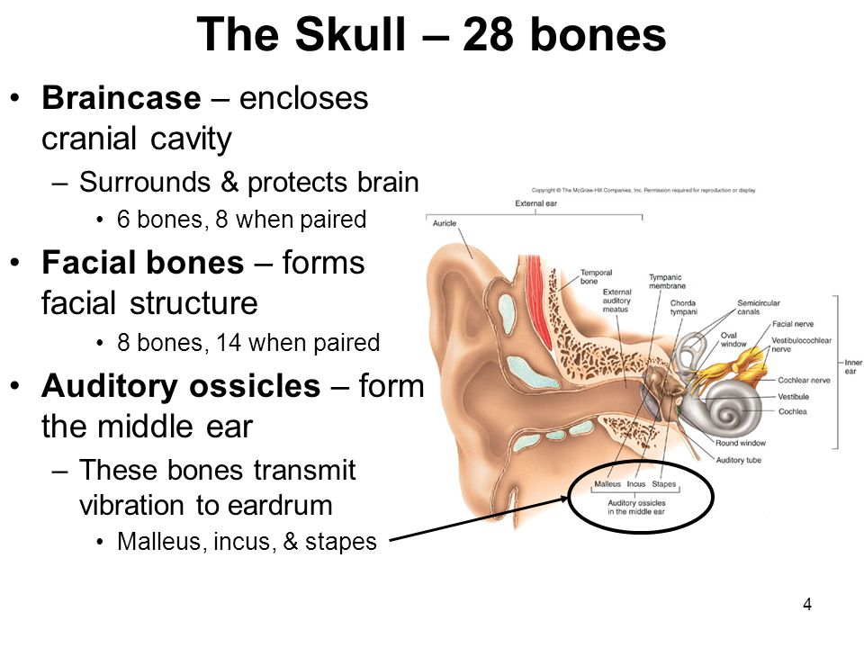 3 Axial skeleton 1. Skull (28 bones including auditory ossicles) 2. Hyoid bone (1 bone) 3. Vertebral column (26 bones) a. Cervical (7 vertebrae) b. Th