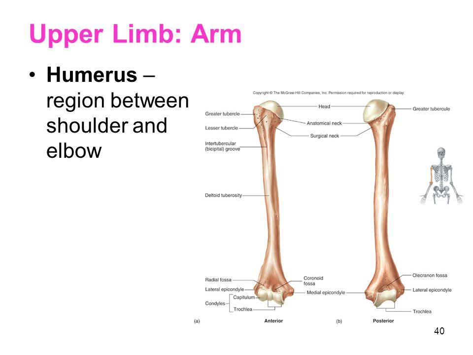 39 Upper Limb Arm Forearm Wrist Hand