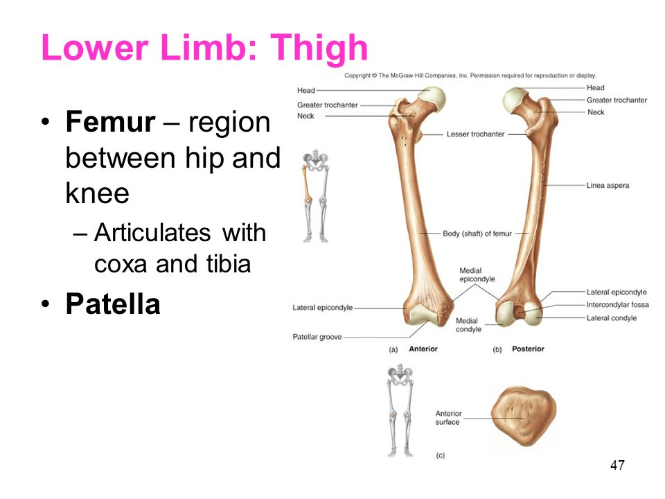 46 Lower Limb Thigh Leg Ankle Foot