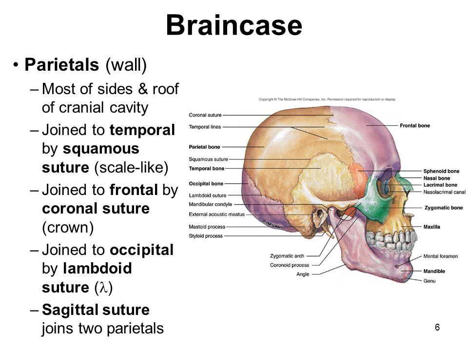 5 Braincase bones – 8 bones 2 parietals 2 temporals 1 frontal 1 occipital 1 sphenoid 1 ethmoid