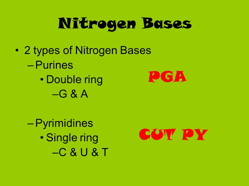 Nitrogen Bases 2 types of Nitrogen Bases –Purines Double ring –G & A –Pyrimidines Single ring –C & U & T PGA CUT PY