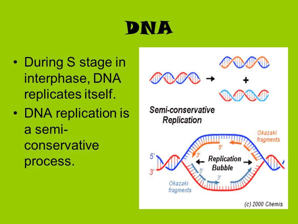 DNA During S stage in interphase, DNA replicates itself. DNA replication is a semi- conservative process.