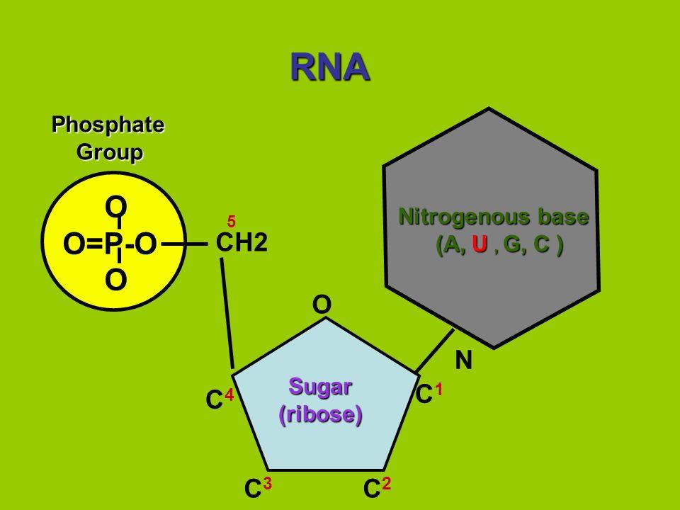 RNA O O=P-O OPhosphate Group Group N Nitrogenous base (A, U, G, C ) (A, U, G, C ) CH2 O C1C1 C4C4 C3C3 C2C2 5 Sugar Sugar (ribose) (ribose)