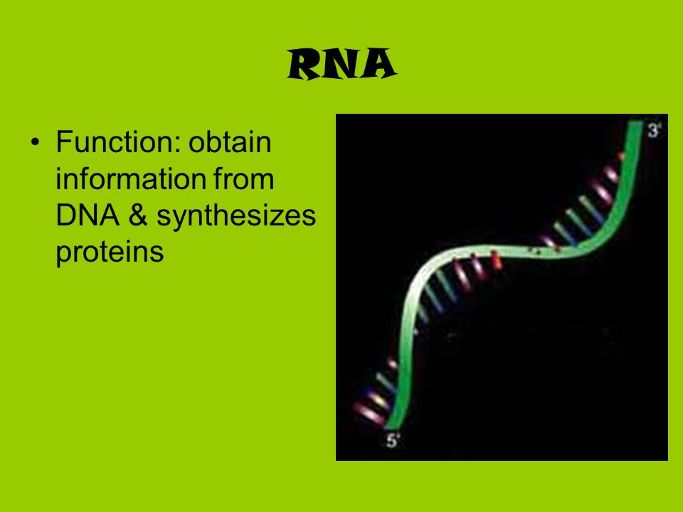 RNA Function: obtain information from DNA & synthesizes proteins