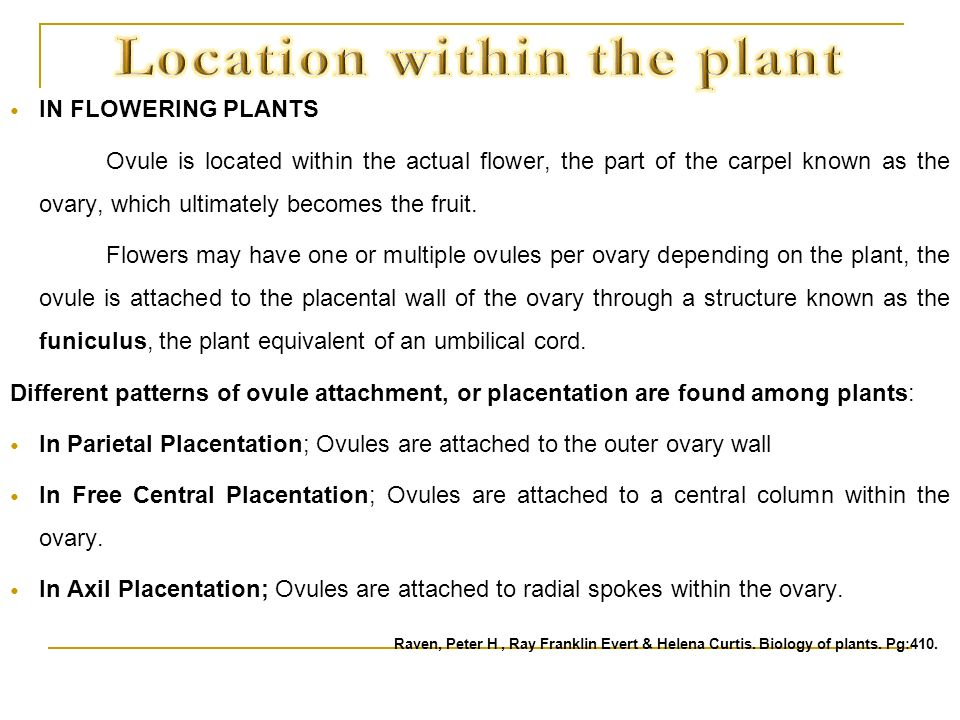 IN FLOWERING PLANTS Ovule is located within the actual flower, the part of the carpel known as the ovary, which ultimately becomes the fruit. Flowers