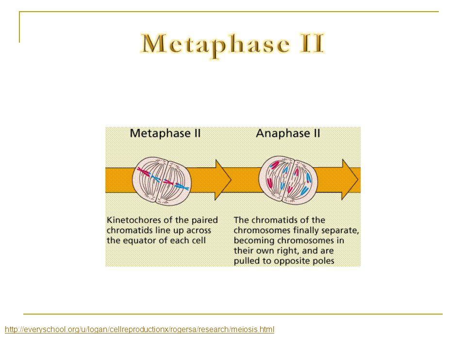 http://everyschool.org/u/logan/cellreproductionx/rogersa/research/meiosis.html