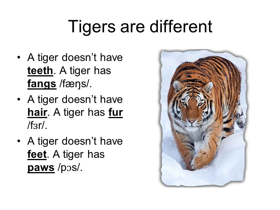 Tigers are different A tiger doesnt have teeth. A tiger has fangs /fæŋs/. A tiger doesnt have hair. A tiger has fur /f ɜ r/. A tiger doesnt have feet.