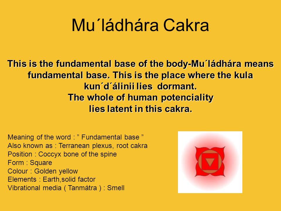 Mu´ládhára Cakra This is the fundamental base of the body-Mu´ládhára means fundamental base. This is the place where the kula kun´d´álinii lies dorman