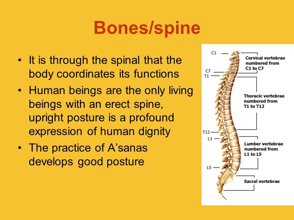Bones/spine It is through the spinal that the body coordinates its functions Human beings are the only living beings with an erect spine, upright post