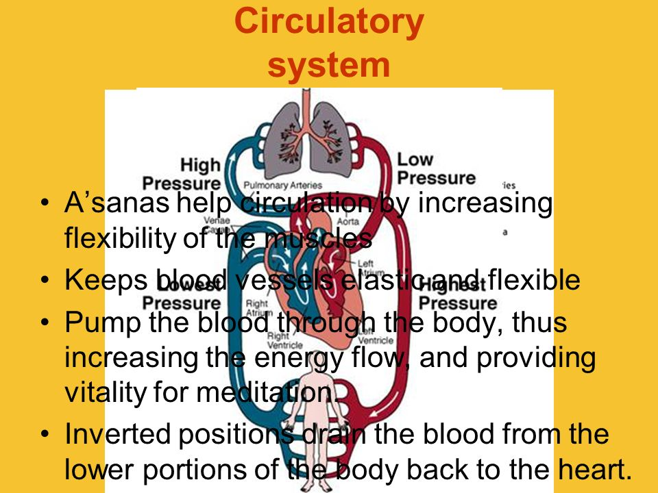 Circulatory system Asanas help circulation by increasing flexibility of the muscles Keeps blood vessels elastic and flexible Pump the blood through th