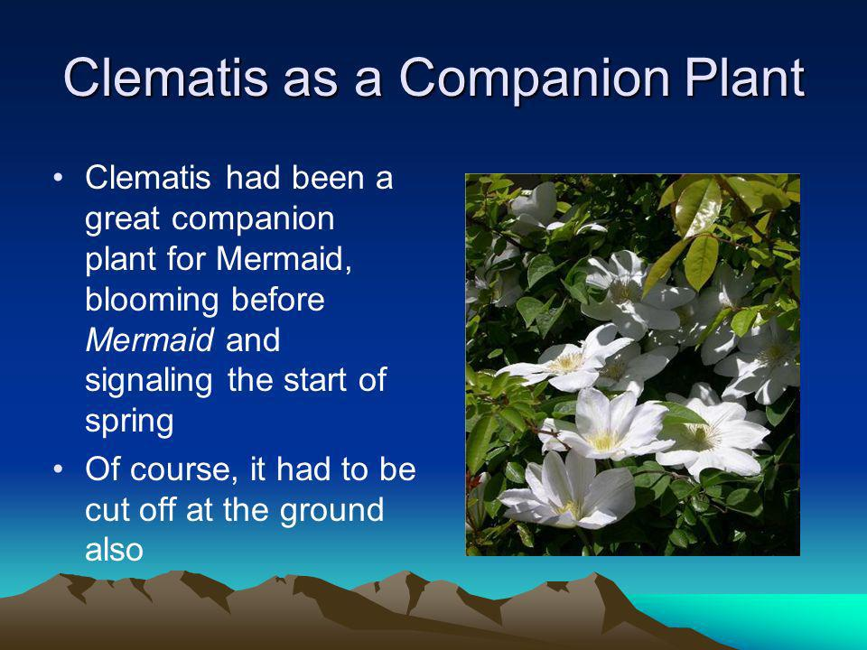 Clematis as a Companion Plant Clematis had been a great companion plant for Mermaid, blooming before Mermaid and signaling the start of spring Of course, it had to be cut off at the ground also