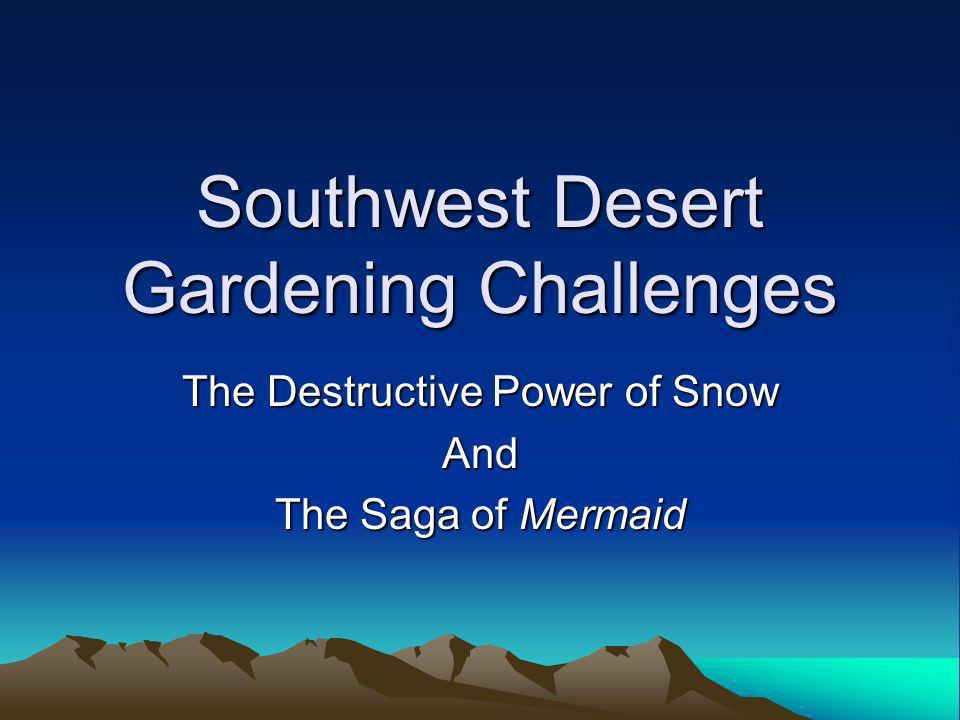 Southwest Desert Gardening Challenges The Destructive Power of Snow And The Saga of Mermaid