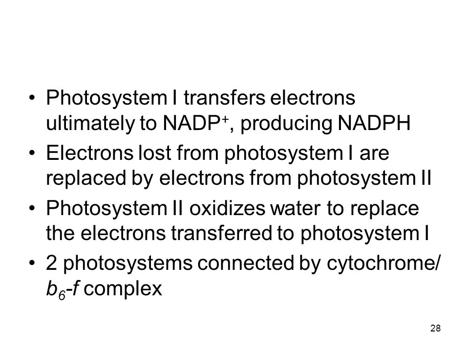 28 Photosystem I transfers electrons ultimately to NADP +, producing NADPH Electrons lost from photosystem I are replaced by electrons from photosyste