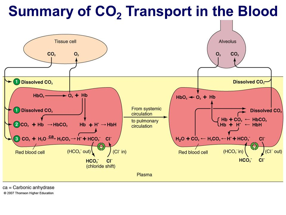 Summary of CO 2 Transport in the Blood