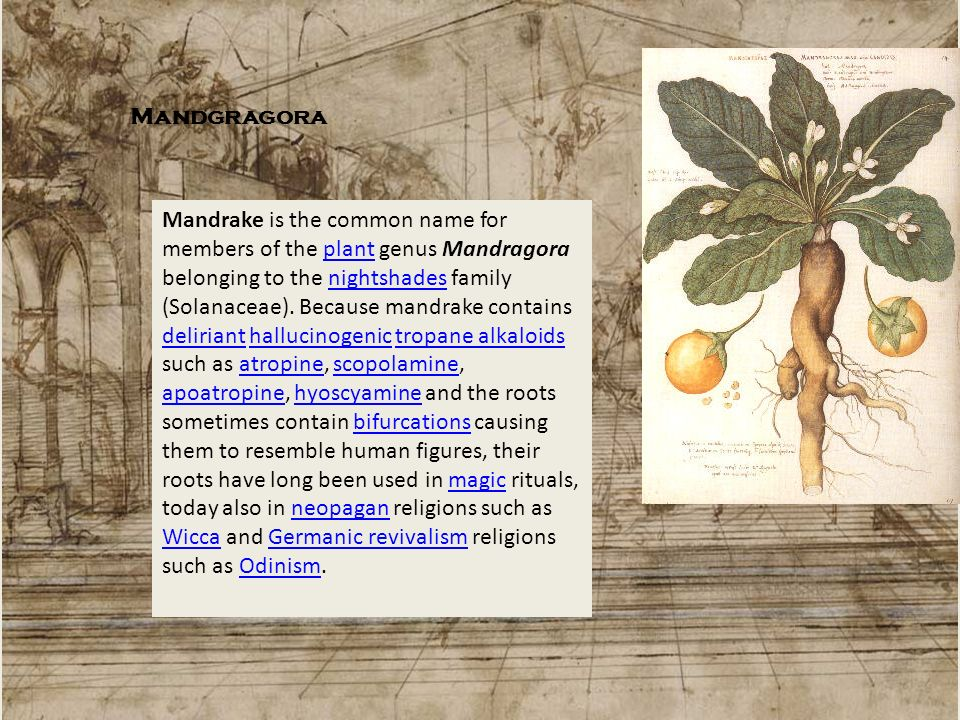 Mandgragora Mandrake is the common name for members of the plant genus Mandragora belonging to the nightshades family (Solanaceae). Because mandrake c