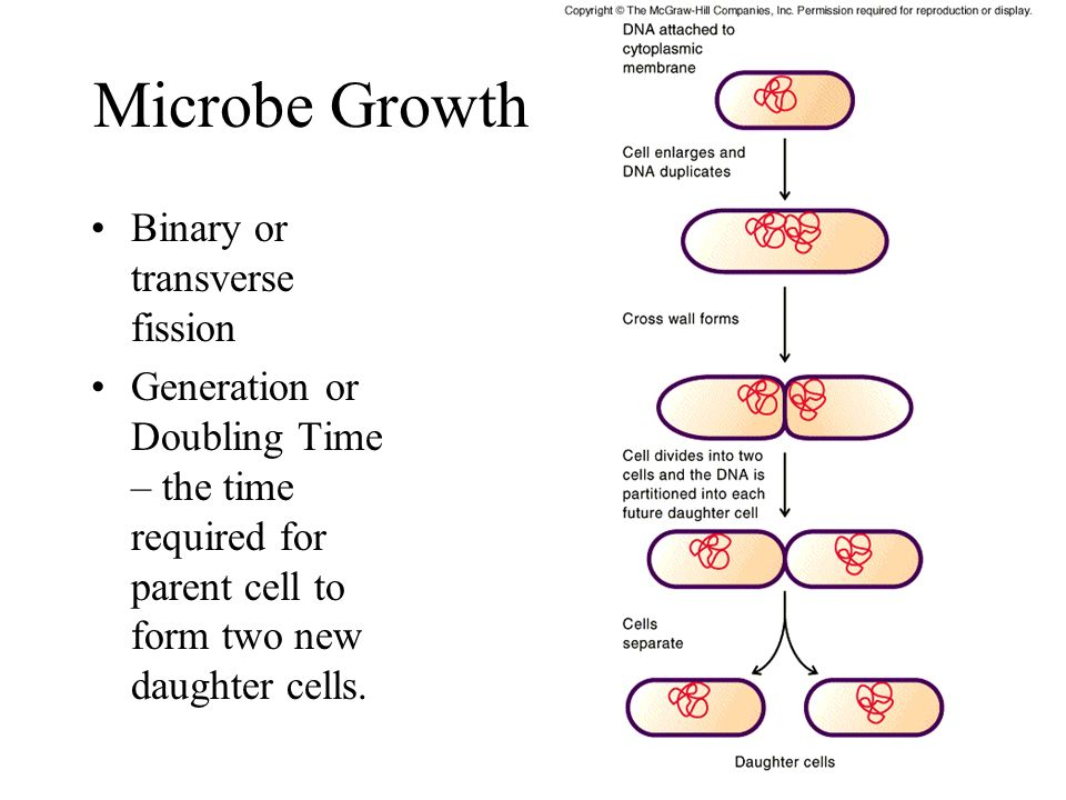 Microbe Growth Binary or transverse fission Generation or Doubling Time – the time required for parent cell to form two new daughter cells.