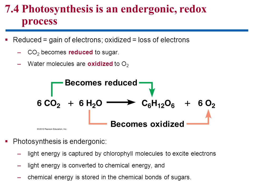 7.4 Photosynthesis is an endergonic, redox process Reduced = gain of electrons; oxidized = loss of electrons –CO 2 becomes reduced to sugar. –Water mo