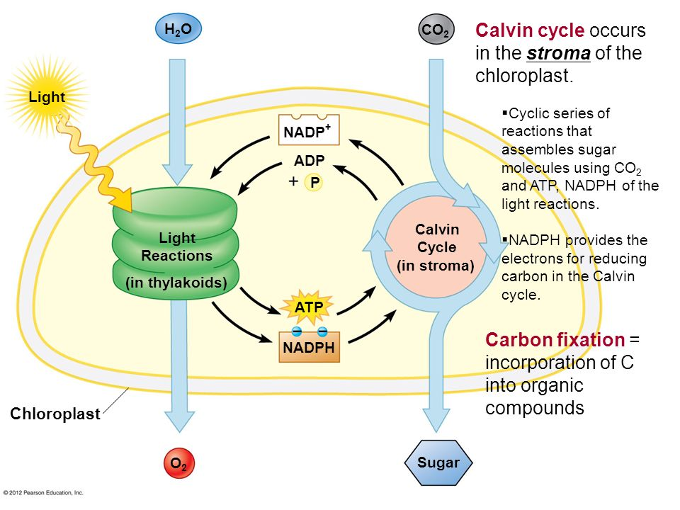 Light Reactions (in thylakoids) Calvin Cycle (in stroma) Sugar O2O2 NADPH ATP NADP + ADP P H2OH2O CO 2 Light Chloroplast Calvin cycle occurs in the st