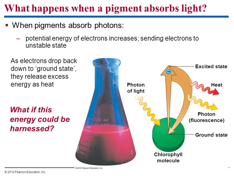 What happens when a pigment absorbs light? When pigments absorb photons: –potential energy of electrons increases; sending electrons to unstable state