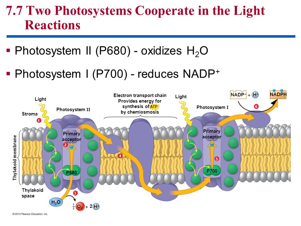 7.7 Two Photosystems Cooperate in the Light Reactions Photosystem II (P680) - oxidizes H 2 O Photosystem I (P700) - reduces NADP + Light Stroma Photos