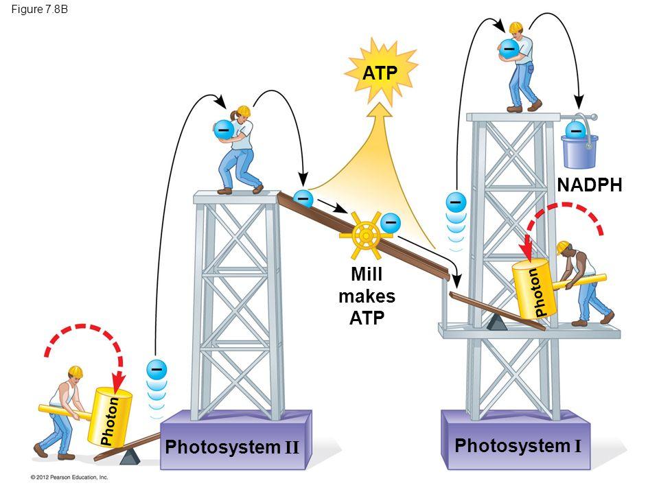 Figure 7.8B Photosystem I Photosystem II NADPH ATP Mill makes ATP Photon