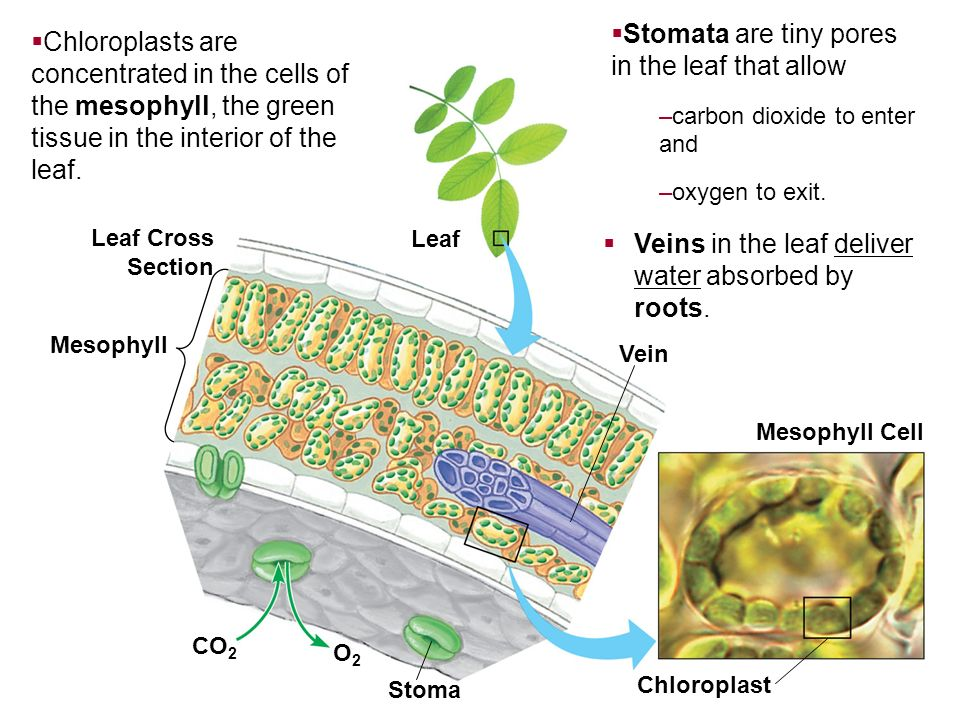 Leaf Cross Section Mesophyll CO 2 O2O2 Vein Leaf Stoma Mesophyll Cell Chloroplast Veins in the leaf deliver water absorbed by roots. Chloroplasts are