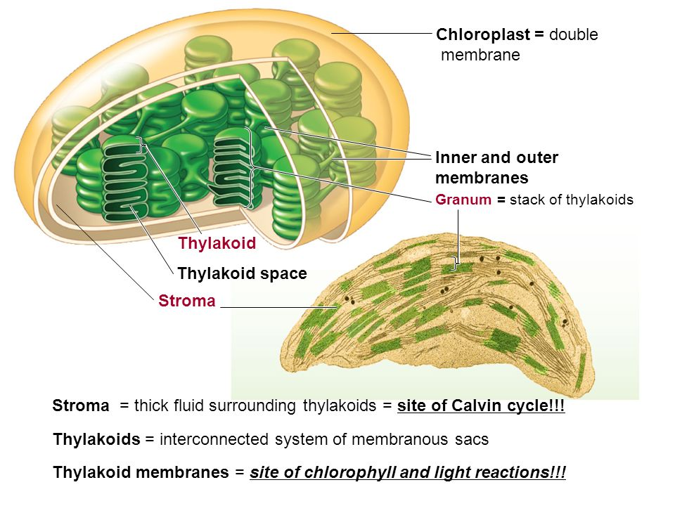Chloroplast = double membrane Thylakoid Thylakoid space Stroma Granum = stack of thylakoids Inner and outer membranes Stroma = thick fluid surrounding