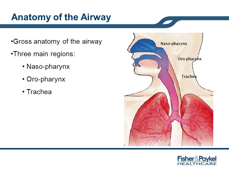 Anatomy of the Airway Naso-pharynx Oro-pharynx Trachea Gross anatomy of the airway Three main regions: Naso-pharynx Oro-pharynx Trachea