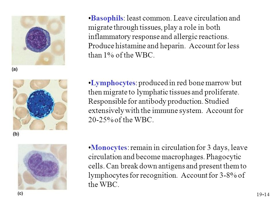 19-14 Basophils: least common. Leave circulation and migrate through tissues, play a role in both inflammatory response and allergic reactions. Produc