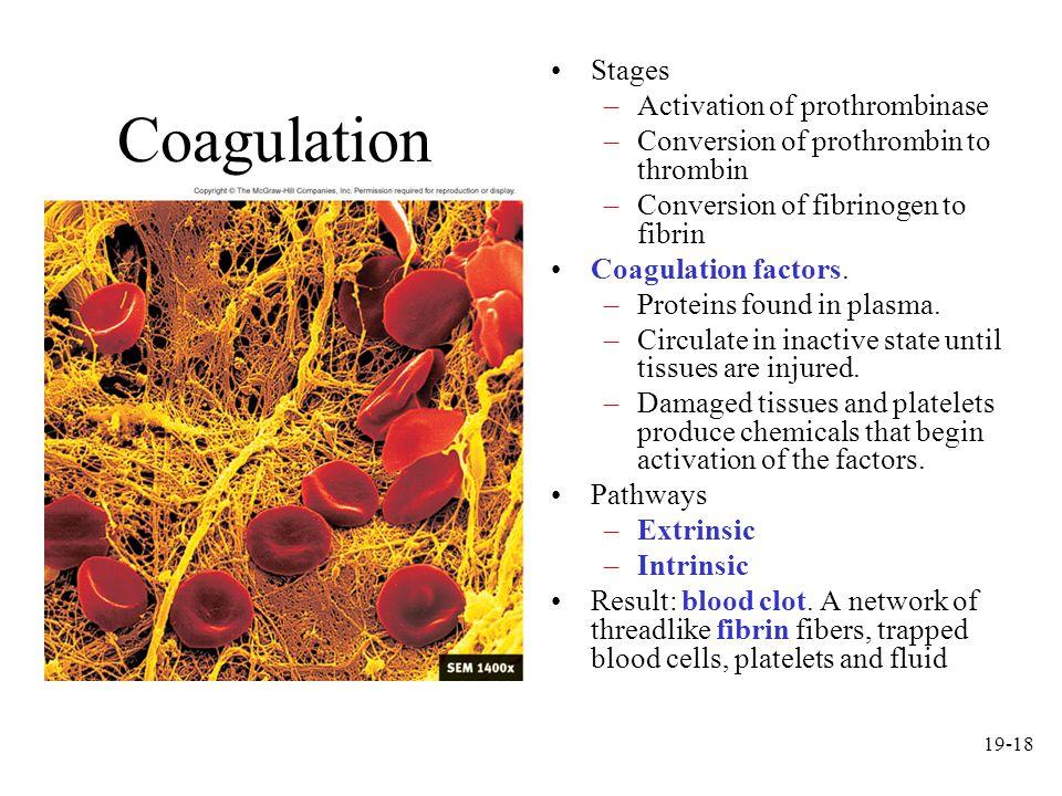 19-18 Coagulation Stages –Activation of prothrombinase –Conversion of prothrombin to thrombin –Conversion of fibrinogen to fibrin Coagulation factors.