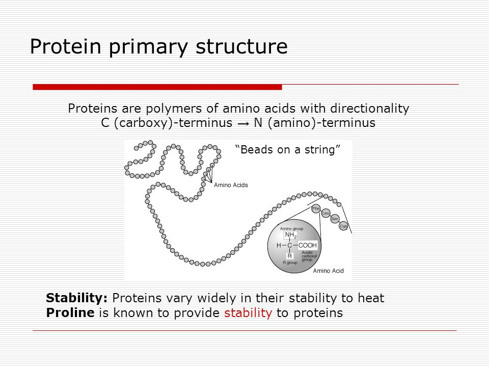 Proteins are polymers of amino acids with directionality C (carboxy)-terminus N (amino)-terminus Beads on a string Protein primary structure Stability