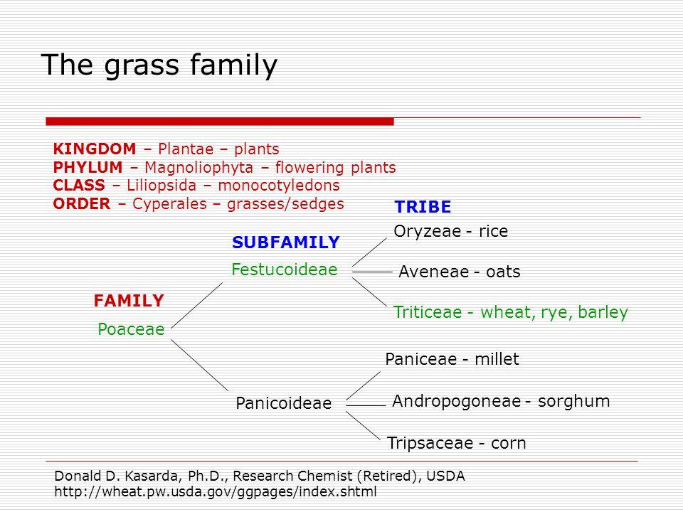 Poaceae Festucoideae Oryzeae - rice Triticeae - wheat, rye, barley Aveneae - oats Panicoideae Andropogoneae - sorghum Tripsaceae - corn Paniceae - mil