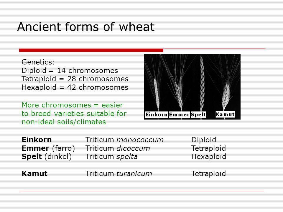 Ancient forms of wheat Einkorn Triticum monococcum Diploid Emmer (farro) Triticum dicoccum Tetraploid Spelt (dinkel) Triticum spelta Hexaploid Kamut T