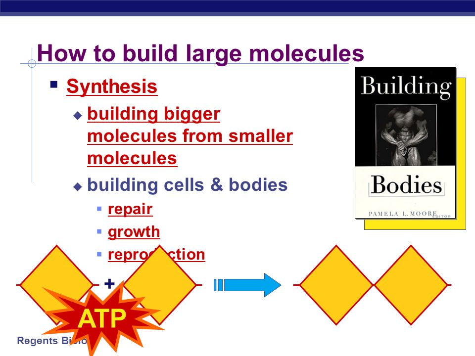 Regents Biology Building important polymers sugar – sugar – sugar – sugar – sugar – sugar nucleotide – nucleotide – nucleotide – nucleotide Carbohydrates = built from sugars Proteins = built from amino acids Nucleic acids (DNA) = built from nucleotides amino acid amino acid – amino acid – amino acid – amino acid – amino acid –
