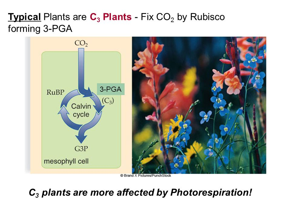 Typical Plants are C 3 Plants - Fix CO 2 by Rubisco forming 3-PGA C 3 plants are more affected by Photorespiration! 3-PGA