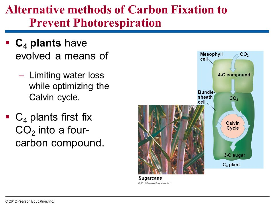 Alternative methods of Carbon Fixation to Prevent Photorespiration C 4 plants have evolved a means of –Limiting water loss while optimizing the Calvin