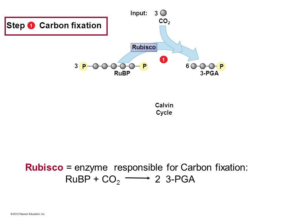 11 P P P 3 3 6 3-PGA RuBP CO 2 Rubisco Input: Step Carbon fixation Calvin Cycle Rubisco = enzyme responsible for Carbon fixation: RuBP + CO 2 2 3-PGA