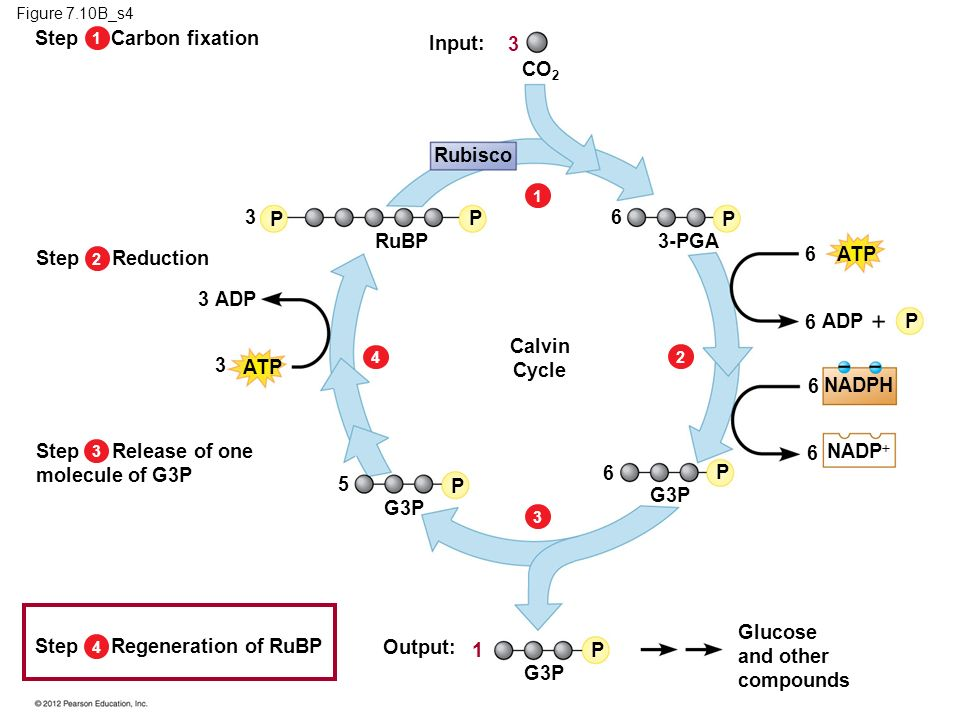Figure 7.10B_s4 22113443 Glucose and other compounds P P P P P P P ATP ADP 3 3 3 3 5 1 6 6 6 6 6 6 NADPH NADP G3P 3-PGA RuBP CO 2 Rubisco Input: Outpu