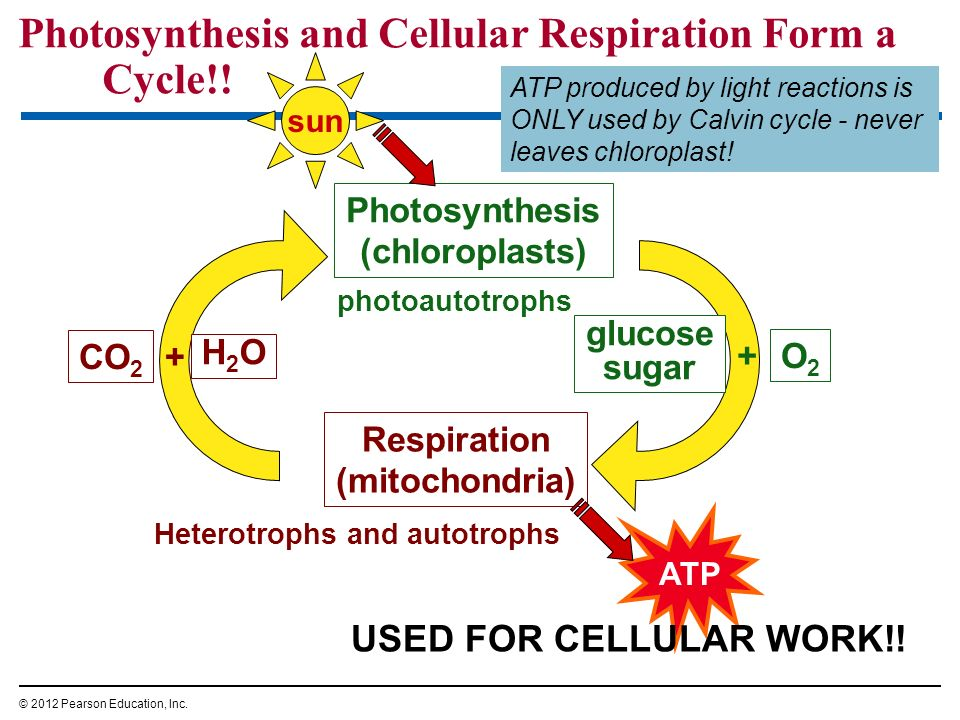 Photosynthesis and Cellular Respiration Form a Cycle!! © 2012 Pearson Education, Inc. sun ATP Photosynthesis (chloroplasts) Respiration (mitochondria)