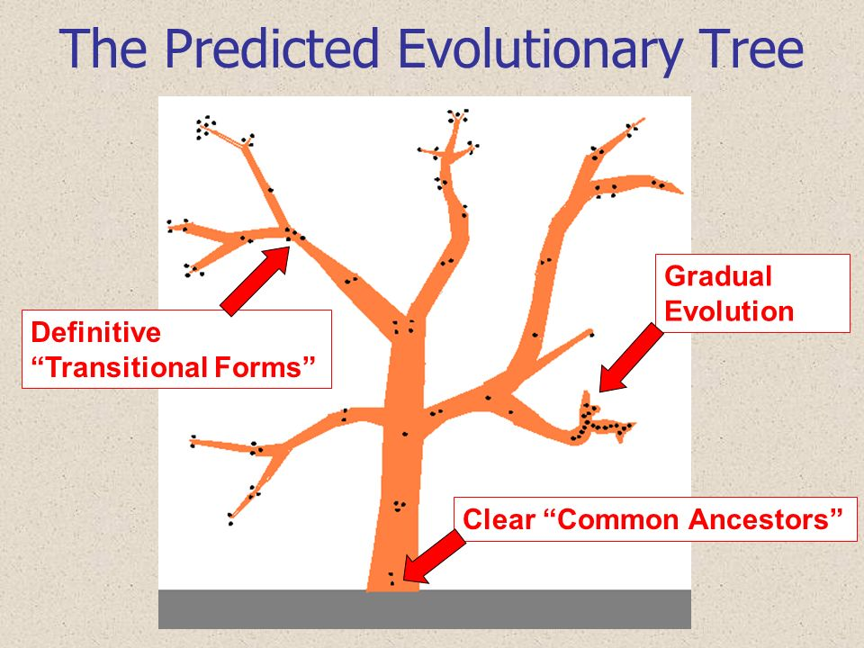 The Predicted Evolutionary Tree Gradual Evolution Definitive Transitional Forms Clear Common Ancestors