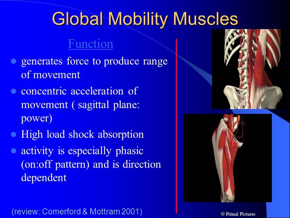 Global Mobility Muscles Function generates force to produce range of movement concentric acceleration of movement ( sagittal plane: power) High load s