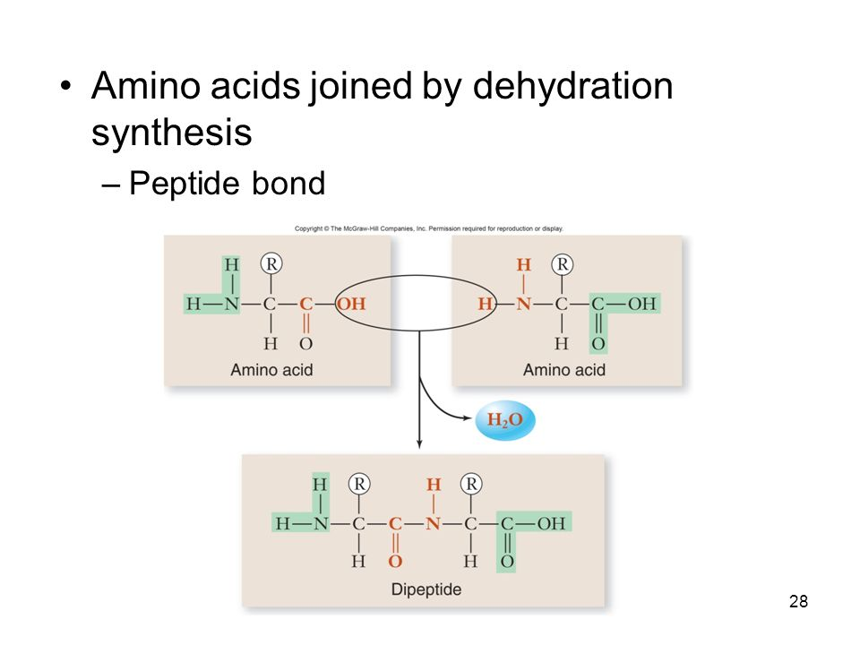 28 Amino acids joined by dehydration synthesis –Peptide bond
