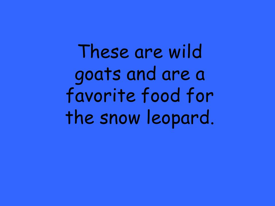 These are wild goats and are a favorite food for the snow leopard.