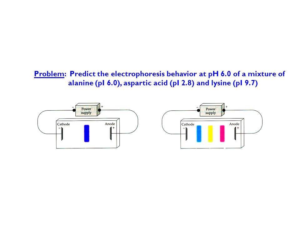 Problem: Predict the electrophoresis behavior at pH 6.0 of a mixture of alanine (pI 6.0), aspartic acid (pI 2.8) and lysine (pI 9.7)