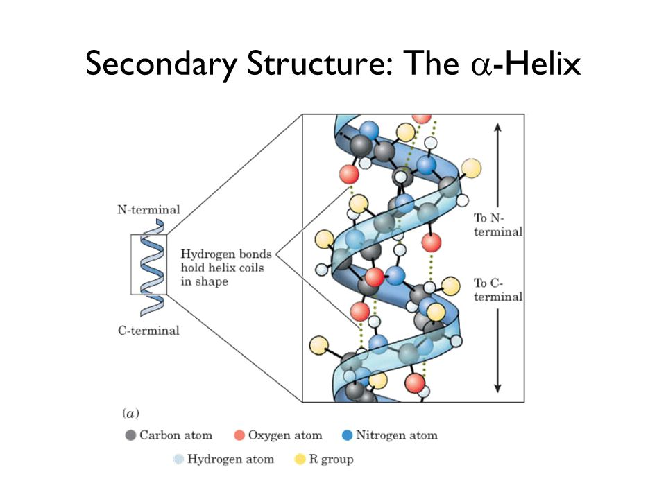 Secondary Structure: The -Helix